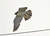 遊隼 Peregrine Falcon:IMG_8646.jpg