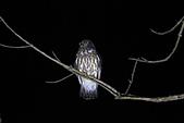 褐鷹鴞 Brown Hawk Owl :IMG_1101.JPG