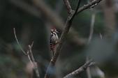 大翅啄木 White-backed Woodpecker:A23P8954.jpg