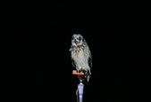 短耳鴞 Short-eared Owl:A23P3256.jpg