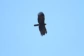 林鵰 Indian Black Eagle:IMG_1250.JPG