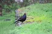 黑長尾雉 Mikado Pheasant:IMG_7909.jpg