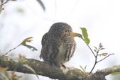 鵂鶹Collared owlet:IMG_9611.JPG