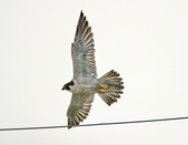 遊隼 Peregrine Falcon:IMG_8648.jpg