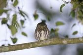鵂鶹Collared owlet:A23P8908.jpg