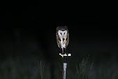 草鴞Grass Owl:A23P0375.jpg