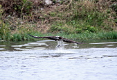 魚鷹 Osprey 捕魚:IMG_0434.jpg