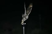 短耳鴞 Short-eared Owl:A23P8081.jpg