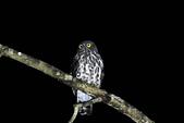 褐鷹鴞 Brown Hawk Owl :IMG_2232.jpg