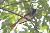 亞洲綬帶 Asian Paradise-flycatcher:IMG_2639.JPG