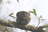 鵂鶹Collared owlet:IMG_9635.JPG