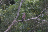 灰面鵟鷹 Grey-faced Buzzard:A23P2552.jpg