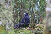 黑長尾雉 Mikado Pheasant:A23P0659.JPG