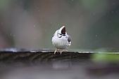 飛羽---台灣特有種:IMG_8734.JPG