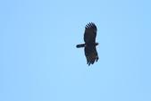 林鵰 Indian Black Eagle:IMG_1253.JPG