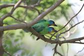 五色鳥交尾:IMG_5293.JPG