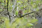 鵂鶹Collared owlet:A23P9022.jpg