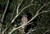 褐林鴞 Brown Wood Owl:A23P4344.jpg