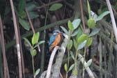 翠鳥 Common Kingfisher:IMG_5018.JPG