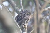 鵂鶹Collared owlet:IMG_9639.JPG