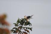 黑翅鳶 Black shouldered kite:IMG_2362.JPG