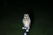 短耳鴞 Short-eared Owl:A23P6779.jpg