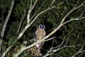 褐林鴞 Brown Wood Owl:A23P4377.jpg