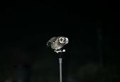 短耳鴞 Short-eared Owl:A23P8079.jpg