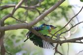 五色鳥交尾:IMG_5286.JPG