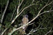 褐林鴞 Brown Wood Owl:A23P4371.jpg