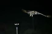 短耳鴞 Short-eared Owl:A23P8083.jpg