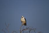 黑翅鳶 Black shouldered kite:IMG_3906.JPG