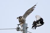 遊隼 Peregrine Falcon:IMG_6310.jpg