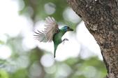 五色鳥:IMG_1708.JPG