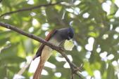 亞洲綬帶 Asian Paradise-flycatcher:IMG_2645.JPG