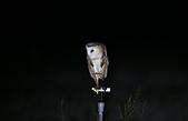 草鴞Grass Owl:A23P0368.jpg
