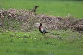 2014 環頸雉 Common Pheasant:A23P5855.JPG