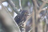 鵂鶹Collared owlet:IMG_9643.JPG