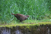 黑長尾雉 Mikado Pheasant:A23P0845.JPG