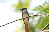 亞洲綬帶 Asian Paradise-flycatcher:IMG_2685.JPG