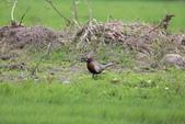 2014 環頸雉 Common Pheasant:A23P5877.JPG