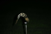 短耳鴞 Short-eared Owl:A23P8620.JPG