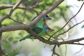 五色鳥交尾:IMG_5282.JPG