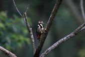 大翅啄木 White-backed Woodpecker:A23P8845.jpg