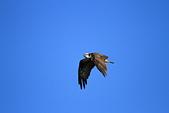 2012 魚鷹 Osprey:IMG_0464.JPG