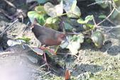 緋秧雞 Ruddy-breasted Crake:IMG_9142.JPG