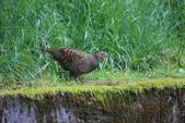 黑長尾雉 Mikado Pheasant:A23P0855.JPG
