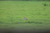 2014 環頸雉 Common Pheasant:A23P5976.JPG