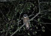 褐林鴞 Brown Wood Owl:A23P9734.jpg