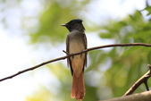 亞洲綬帶 Asian Paradise-flycatcher:IMG_2700.JPG